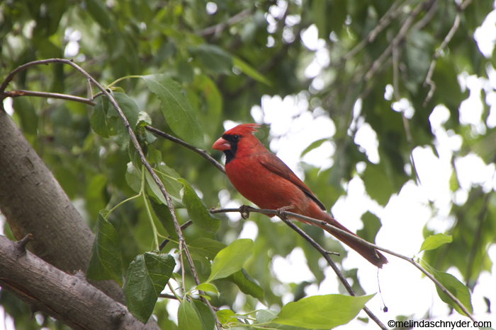 cardinal_male_big_tree