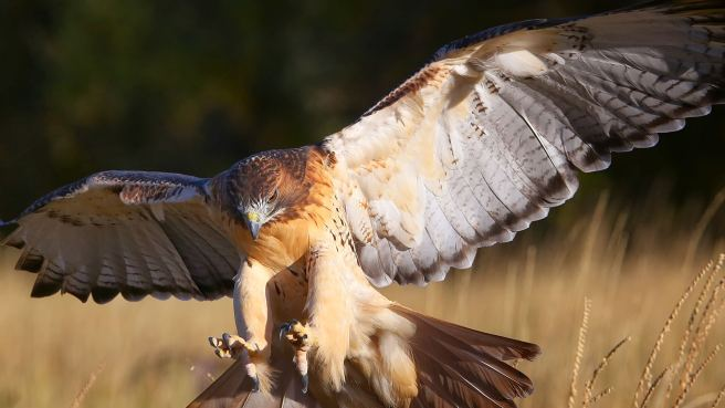 animals_hero_red-tailed_hawk_0 (1)
